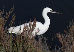 Little Egret (Wild Chroma) Tags: egretta garzetta egrettagarzetta egret birds nonpasserines ludo riaformosa portugal