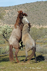 Everybody was getting into the action (littlebiddle) Tags: wildlife mammal animal horse equine arizona saltriver