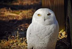 Yeti (MTSOfan) Tags: yeti snowyowl owl lvz bird