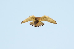 K32P1683a Kestrel, Burwell Fen, November 2018 (bobchappell55) Tags: burwellfen kestrel cambridgeshire falcotinnunculus bird wild nature wildlife birdofprey nationaltrust hovering