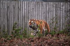 IMG_1483 (Simon M Hendry) Tags: yorkshirewildlifepark zoo england yorkshire wildlifepark animal mammal tiger bigcat amurtiger walking