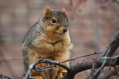 219/365/3871 (January 16, 2019) - Fox Squirrels in Ann Arbor at the University of Michigan - January 16th, 2019 (cseeman) Tags: gobluesquirrels squirrels foxsquirrels easternfoxsquirrels michiganfoxsquirrels universityofmichiganfoxsquirrels annarbor michigan animal campus universityofmichigan umsquirrels01162019 winter eating peanuts acorns januaryumsquirrel 2019project365coreys yearelevenproject365coreys project365 p365cs012019 356project2019