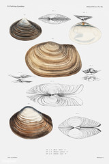Clam shell varieties vintage poster (Free Public Domain Illustrations by rawpixel) Tags: animal antique aquatic art augustus augustusaddisongould beach bivalve book cc0 clam creativecommons0 creature decor decoration design drawing expedition food free geoduck gould illustration images life lutraria marine mediterranean mollusc molluscashells name nautical northatlantic ocean old painting picture poster print publicdomain saltwater science scientific scientificexpeditions sea seafood seashell shell shells species vintage zoology