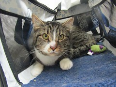 Cali - 3 year old spayed female