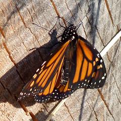 Monarch (Dendroica cerulea) Tags: monarch danausplexippus danaus danaini danainae nymphalidae papilionoidea lepidoptera insecta hexapoda arthropoda butterfly insect invertebrate donaldsonpark highlandpark middlesexcounty nj newjersey