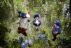 Duck Duck Duck Duck (donjuanmon) Tags: donjuanmon nikon nature duck swim muscovy wood water watercolor cliches clichesaturday hcs