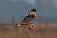 short eared owl (colin 1957) Tags: seo shortearedowl owl birdsofprey
