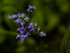 Fresh (Explored) (matthewken4722) Tags: brushlike sooc green macro flowers plant purple