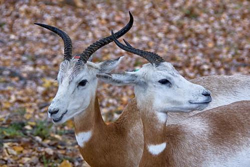Addra or Dama gazelle
