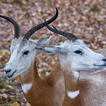 Addra or Dama gazelle thumbnail