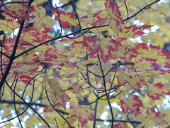 Autumn Leaves (WabbitWanderer) Tags: cootesparadise cootes conservation wilderness hamilton ontario leaves autumn fall color colour trees branches leaf