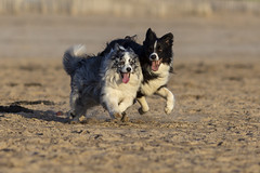 Togetherness! (redshift1960) Tags: dog gibson bluemerle bordercollie dogs beach chase