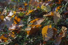 autumn nature scene 15112018 030 (Dirk Buse) Tags: münster nordrheinwestfalen deutschland deu herbst blätter autumn leaves nature outdoor natur color farben day sun no people mft mu43 m43 olympus em1ii