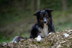 Ready (Flemming Andersen) Tags: yatzy dog bordercollie outdoor nature hund pet animal
