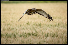 Spotted Harrier at work (birdsaspoetry) Tags: circusassimilis spottedharrier wtp