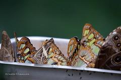 Crowded (Ineke Klaassen) Tags: butterfly butterflies nature naturephotography natuur natur natuurfotografie natuurfoto animals fauna vlinder vlinders schmetterling schmetterlinge papillons mariposas sony sonyimages sonya6000 sonyalpha sonyilce6000 sonyalpha6000 crowded 2550fav 25favs 25fav 25faves 400views