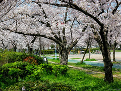 Kema Sakuranomiya Park - Osaka (Noti NaBox) Tags: japan japon osaka sakuranomiya park parc sakura cerisier cherry blossom lumix g85 g80 fleur