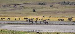 Zebras (Everyday Glory!!!) Tags: ngorongorocrater ngorongoro africa tanzania wildlife gamedrive safari lakemagadi africanbuffalo buffalo capebuffalo