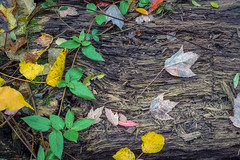 Decay (JMS2) Tags: nature foliage decaying vine leaves bark