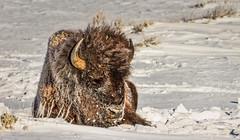 BEDDED DOWN (Sandy Hill :-)) Tags: bison bullbison yellowstonenationalpark bisonofyellowstone winter snow frigid cold yellowstonenationalparkinthewinter sandyhill sandyhillphotography woolly bisonofnorthamerica nature wildlife sunny