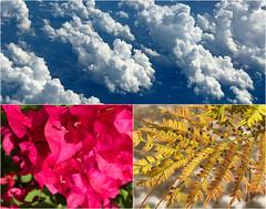 Nature's Patterns 6 (soniaadammurray - On & Off) Tags: iphone collage picmonkey triptych nature patterns sky clouds flowers fern bougainvillea beauty look appreciate surroundings artchallenge natureisanartist art artist smileonsaturday