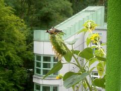 Besuch auf dem Balkon ... (bayernernst) Tags: 2018 juli 19072018 sn207138 deutschland germany berlin meinberlin sommer balkon stieglitz vogel sonnenblume