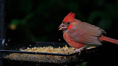 _MG_7338 (Sanghani Chirag) Tags: bird cardinal birdfeeder nature
