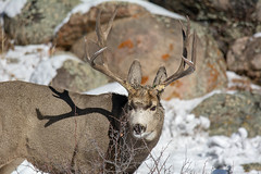 Searching for Food (RkyMtnGrl) Tags: deer mule buck antlers wildlife fall autumn snow rmnp rockymountainnationalpark colorado 2018