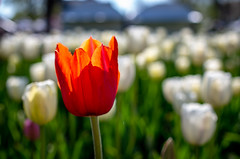 NJH_7730 (norjam8) Tags: tulipfestival tuliptime flowers tulips