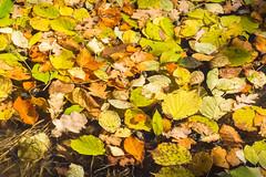 Autumn (bertrandwaridel) Tags: 2018 autumn echallens fall november switzerland vaud nature suisse