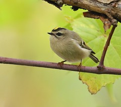 5.5 Grams of Pure Energy (Slow Turning) Tags: regulussatrapa goldencrownedkinglet bird migrant migrating migrate perched branch grape vine vitis autumn fall southernontario canada