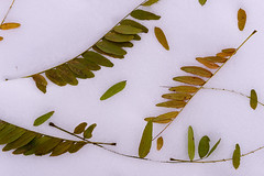 locust leaves (kelemen.photography) Tags: locust leaves snow autumn tomkelemen nikondf