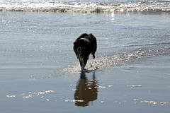 Dash found a ball (JB by the Sea) Tags: sanfrancisco california october2018 fortfunston dog australianshepherd aussieshepherd aussie dash beach pacificocean pacific ocean