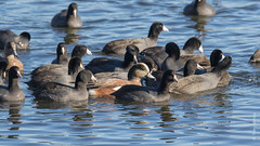 """The Americans"" (Tony Varela Photography) Tags: canon ducks photographertonyvarela wigeon americanwigeon coot americancoot"