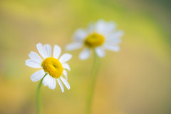 feverfew 5123 (junjiaoyama) Tags: japan flower plant feverfew white winter macro