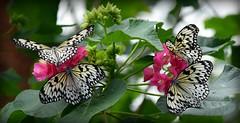 Four Star Beauties (gatorgalpics) Tags: butterflyrainfores floridamuseumofnaturalhistroy universityofflorida