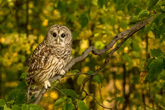 Barred Owl..... (Kevin Povenz Thanks for all the views and comments) Tags: 2017 october westmichigan kevinpovenz michigan barredowl owl bird birdsofprey blandfordnaturecenter canon7dmarkii sigma150500