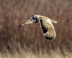 Short-Eared Owl, Skagit Valley (Hawg Wild Photography) Tags: shortearedowl skagitvalley raptor wildlife bird nature skagitcountywashington terrygreen hawg wild photography