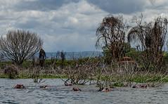 Lake Naivasha, Kenya (Ninara31) Tags: naivasha nationalpark lake nairobi kenya wildlife africanbird hippo hippopotamus