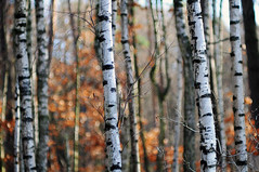 HBW birch (Frau Koriander) Tags: forest wald woods birch birke birken birkenstamm birkenstämme stämme tree trees baum bäume bokeh dof depthoffield vivitar13528 vivitar nikond300s winter autumn fall herbst light lighting sparkle hanau wildparkfasaneriehanau hessen nature natur