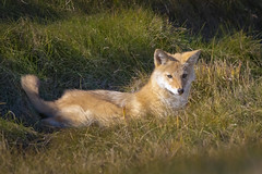 Coyote pup (Peter Stahl Photography) Tags: coyote pup juvenile voles grass