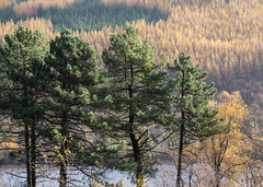 Pine and Larch - Loch Eck Nov 2018 (GOR44Photographic@Gmail.com) Tags: trees gor44 green pine scotland larch water loch eck argyll cowal sunlight shadows panasonic g9 45200mmf456 loop