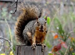 Squirrel (EcoSnake) Tags: squirrels easternfoxsquirrel rodents nuts wildlife fall november idahofishandgame naturecenter