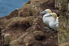 """NO, you go first""                                                                                                           07-Sept-18 G 013 (gomo.images) Tags: 2018 aberdeenshire bird country gannet nature scotland trouphead years"