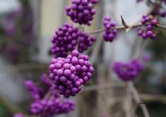 LILAC (Fimeli) Tags: colors winter wintertime winterzeit lila lilac farbe bokeh macro