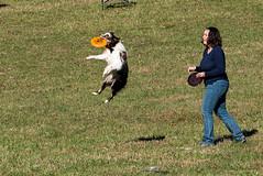 SZP_1363_pslr5 (Lakeside Annie) Tags: 11102018 2018 20181110 24120mm 24120mmf40 70300mm 70300mmf4556 d750 fall huntersville huntersvillenc leannefzaras nc nikkor nikkor24120mmf40 nikkor70300mmf4556 nikkorlens nikon nikond750 northcarolina november10 ruralhill sarazphotography saturday sheepdog sheepherdingtrials dog dogfestival frisbee frisbeedog shepherd trick trickdog