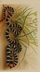 This image is taken from Los ofidios venenosos del Cauca : meÃÂtodos empiÃÂricos y racionales empleados contra los accidentes producidos por la mordedura de esos reptiles (Medical Heritage Library, Inc.) Tags: snakes snake bites usnationallibraryofmedicine medicineintheamericas medicalheritagelibrary americana date1896 id65050640rnlmnihgov