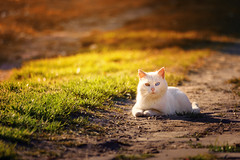 Feline (Pásztor András) Tags: nature cat domestic white heterochromia different eye color grass sunset yellow blue green dslr full frame nikon d700 andras pasztor photography 2018 hungary