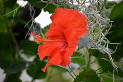 Hibiscus (Seventh Heaven Photography - (Flora)) Tags: flower flora bloom nikon d3200 hibiscus red