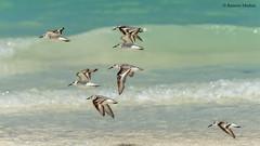 dsc9526-vuelvepiedras-comn-arenaria-interpres-en-la-playa-de-salary-madagascar_24783814208_o (Ramón Muñoz - Fotografía) Tags: madagascar fauna de animales parque nacional reserva playa salary vuelvepiedras común arenaria interpres